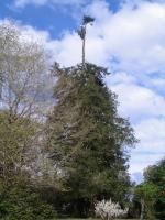 40m-s jegenyefenyőfa csúcs levágása kb10m