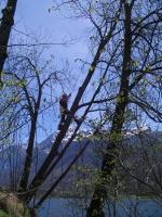 meredek sziklafal tetején veszélyes fa kivágása alpintechnikával