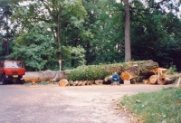 óriás fák kivágása