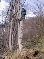 viharban megdőlt fa kivágása