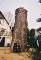 veszélyes fák kivágása